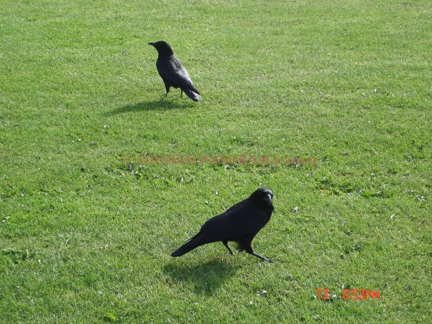 Crow in Canada and USA border