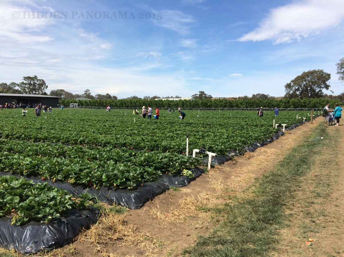 Fruit Picking Adventure at Bacchus Marsh