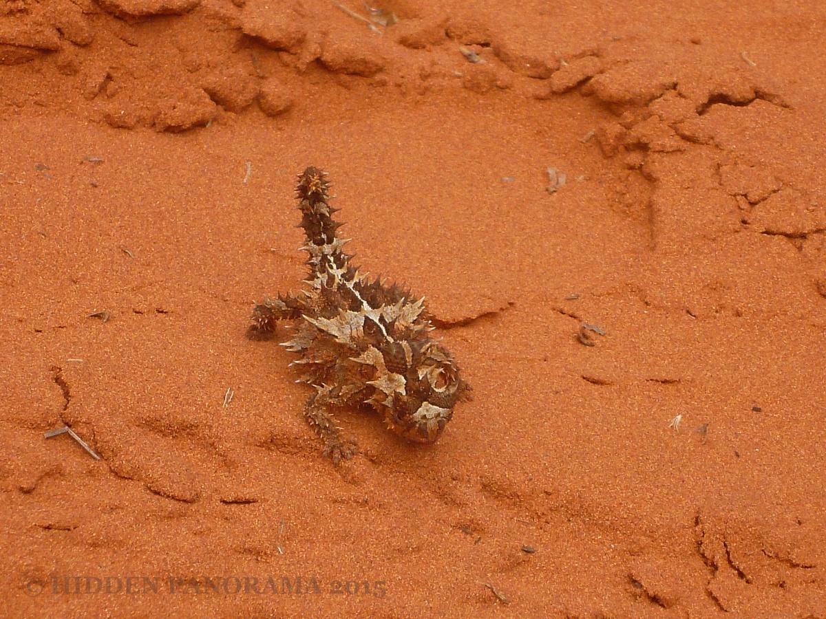 Discovery : Ngiyari (Thorny Devil)
